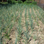 Česneková plantáž