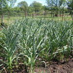 jak se pěstuje česnek