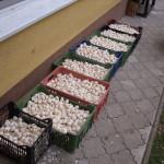 Faktory, které můžou ovlivnit výnos česneku