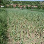 Pěstování česneku 2014